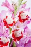 开花红色白色 库存照片