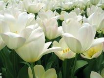 开花纯白色 库存图片