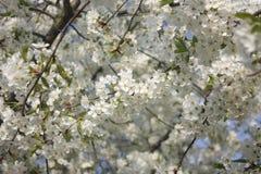 开花结构树白色 免版税库存图片
