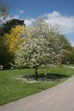 开花结构树白色 免版税库存照片
