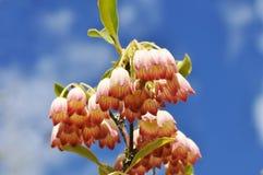 开花结构树 图库摄影