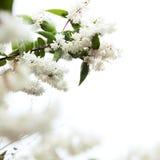 开花结构树 免版税库存图片
