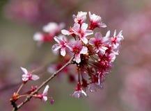 开花结构树 免版税图库摄影