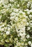 开花绣线菊类的植物白色 免版税图库摄影