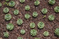 开花绿色植物多汁植物 免版税库存图片