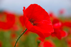 开花罂粟属罂粟科鸦片红色rhoeas 库存照片