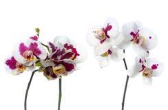 开花美丽的两朵枝杈被察觉的兰花在被隔绝 免版税库存照片