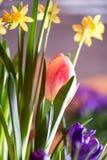 开花美丽的五颜六色的春天的电灯泡户内 免版税图库摄影