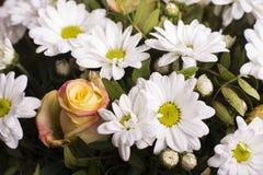 开花背景:金黄雏菊和玫瑰 免版税库存图片