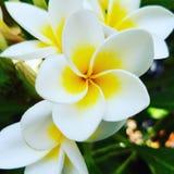 开花自然的甜完美 库存照片