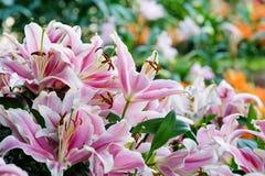 开花自然背景,开花在春天se的桃红色lilly花 库存照片
