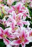 开花自然背景,开花在春天se的桃红色lilly花 图库摄影