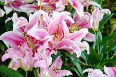 开花自然背景,开花在春天se的桃红色lilly花 免版税库存照片