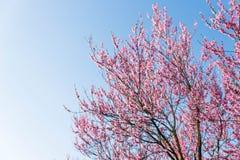 开花花充分的桃子粉红色春天结构树是 库存照片