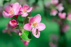 开花花和蜂 免版税图库摄影