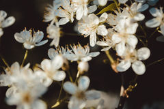 开花花果树白色 春天起点背景 Bokeh 被定调子的p 免版税图库摄影