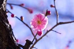 开花花粉红色李子 库存图片