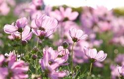 开花花粉红色 库存照片