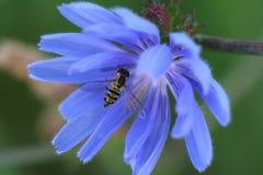 开花苦苣生茯蝇syrphid 库存照片