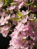 开花英国樱桃哥伦比亚 免版税库存照片