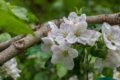 开花苹果树在庭院里 库存照片