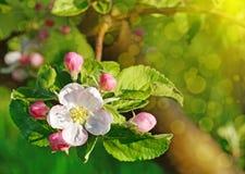 开花苹果树在春天庭院里在阳光(背景下- 免版税库存图片