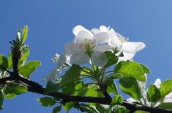 开花苹果树 图库摄影