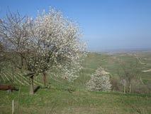 开花苹果树 库存照片