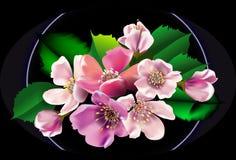 开花苹果花束在黑背景开花 图库摄影