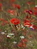 开花草甸鸦片 与白色春黄菊开花的红色鸦片 免版税库存照片