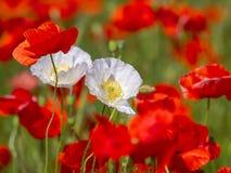 开花草甸鸦片 两朵白罂粟花特写镜头  库存照片