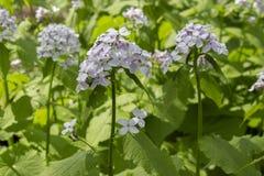 开花药用植物,许多小花白色蓝色,与叶子的长的词根的月经rediviva 四季不断的利尿植物 免版税库存图片
