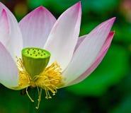 开花莲花荚种子 库存照片
