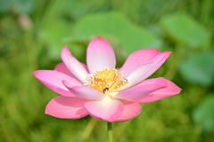开花莲花,美丽的莲花早晨,漂浮桃红色的莲花,莲属nucifera花 库存照片