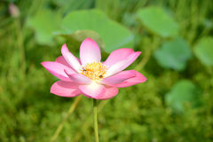 开花莲花,美丽的莲花早晨,漂浮桃红色的莲花,莲属nucifera花 免版税库存图片