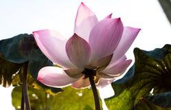 开花莲花 背景是莲花叶子 图库摄影