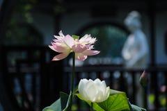 开花莲花 图库摄影