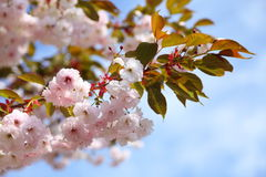 开花蓝色樱桃天空 免版税库存图片