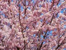 开花蓝色樱桃粉红色天空 免版税库存图片