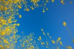 开花蓝色花芥末上升的天空 免版税库存图片