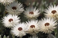 开花蜡菊属植物 库存图片