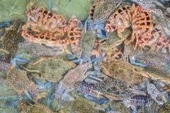 开花螃蟹,青蟹,蓝色游泳者螃蟹,蓝色精神食粮螃蟹,沙子 库存照片