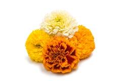 开花被隔绝的万寿菊 库存照片