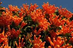 开花西班牙冬天的橙色花 库存图片