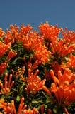 开花西班牙冬天的橙色花 免版税图库摄影