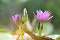 开花许多紫色莲花或荷花在有阳光的室外池塘 库存图片