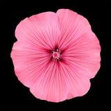 开花象瓣来回喇叭花的粉红色 库存照片