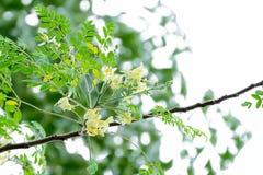 开花辣木科的花,显露的黄色花粉 免版税库存图片