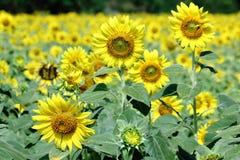 开花通过领域的黄色向日葵 图库摄影