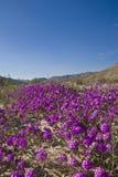 开花通配沙子的马鞭草属植物 免版税库存照片